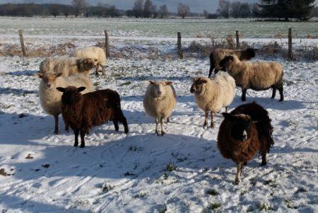Den Schafen mit ihrem dicken Pelz macht die Kälte nichts aus