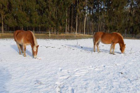 Die Ponys fühlen sich auch im Schnee pudelwohl