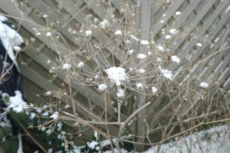 Der Schnee setzt in den Samenständen des Bronzefenchels neue Akzente