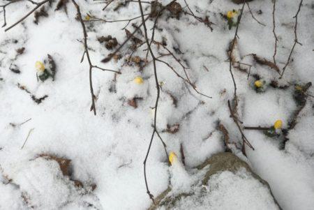 Der erste Frühlingsbote kämpft sich durch den Schnee: Winterlinge!