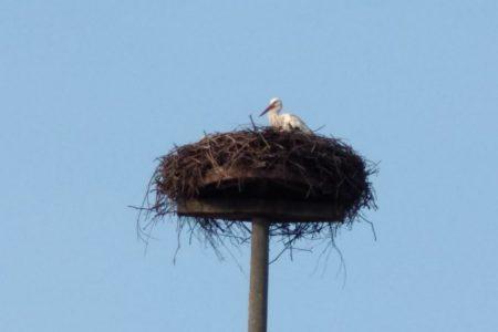 Der Storch aud dem Dorfnest